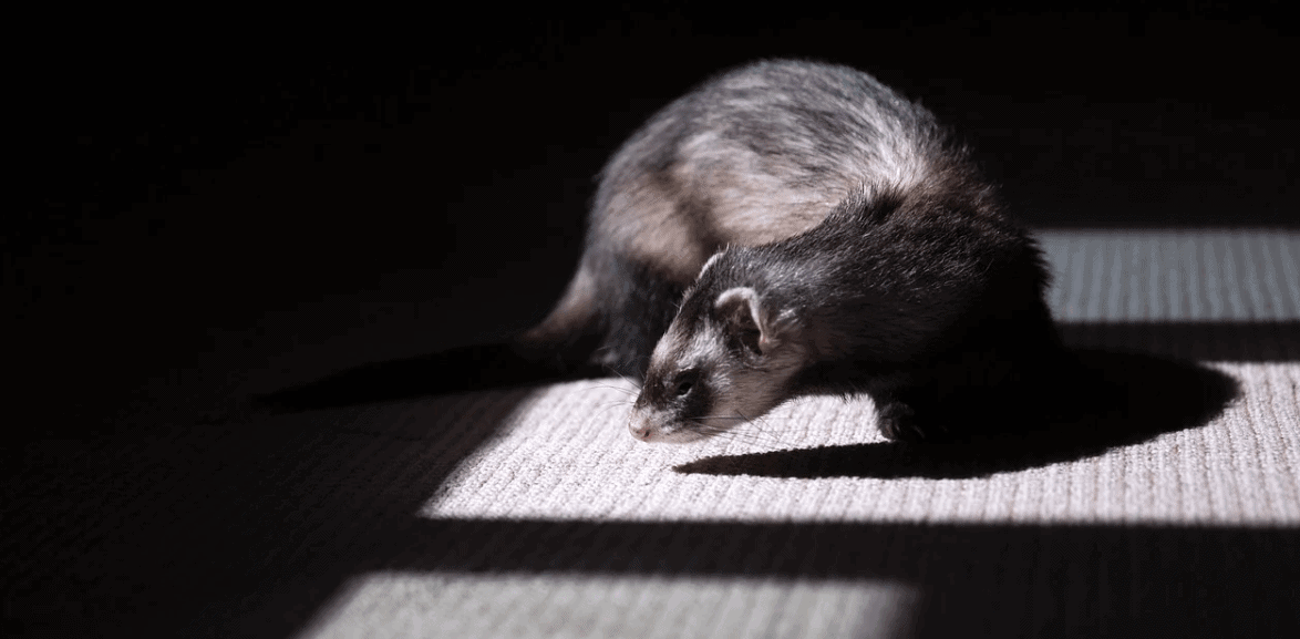 ferret in dark