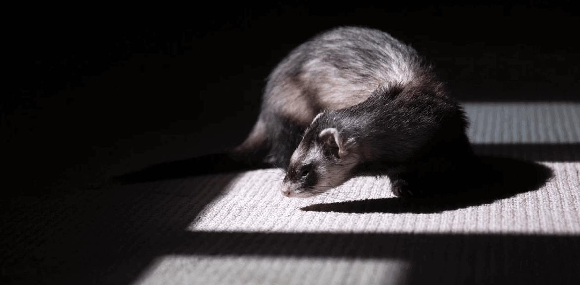ferret in dark