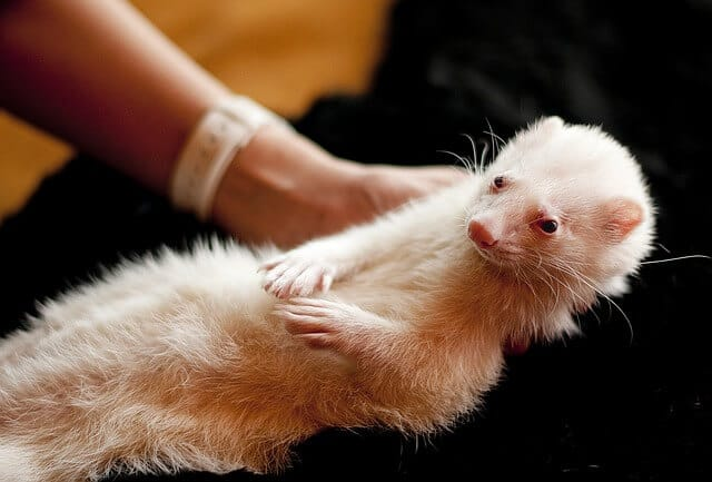 why does my ferret lick me