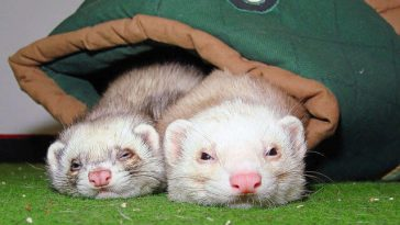 Do Ferrets Need Bedding?