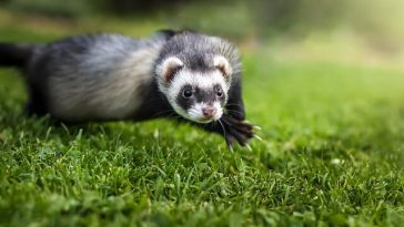 Do ferret bites hurt