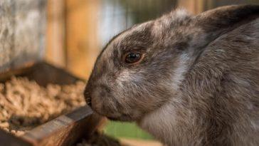 Do ferrets eat rabbits