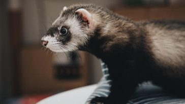 Best Ferret Litter for Odor Control