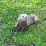 Do ferrets poop a lot