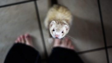 How To Tell How Old a Ferret Is