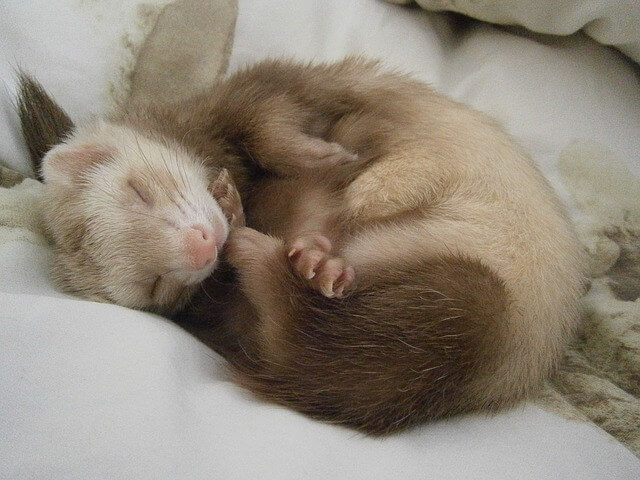 Ferret Noises and What They Mean
