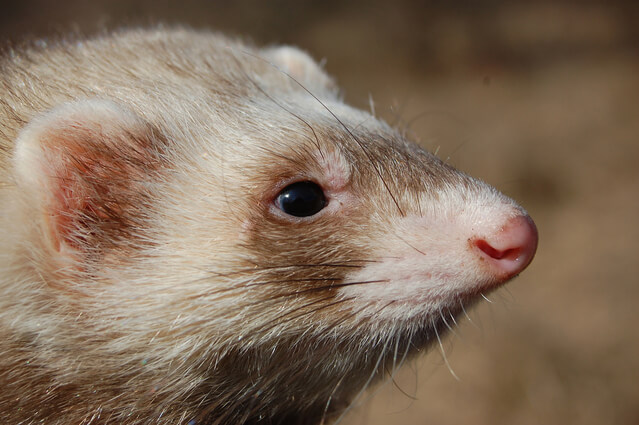 When do ferrets stop growing?