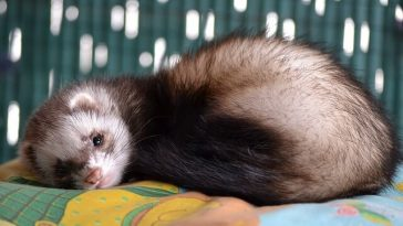 How to get rid of ferret odor in room?