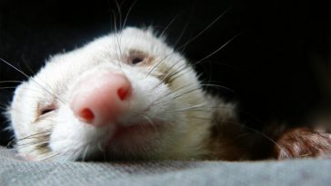 Do Ferrets Stink?