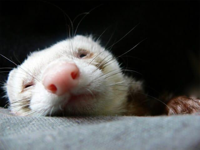 Do Ferrets Stink?