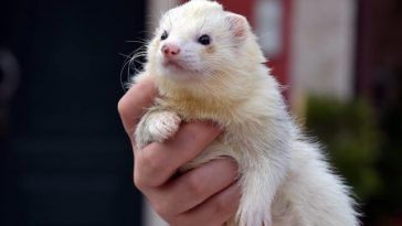 Do Ferrets Shed?