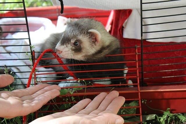 How Big Should a Ferret Cage Be?