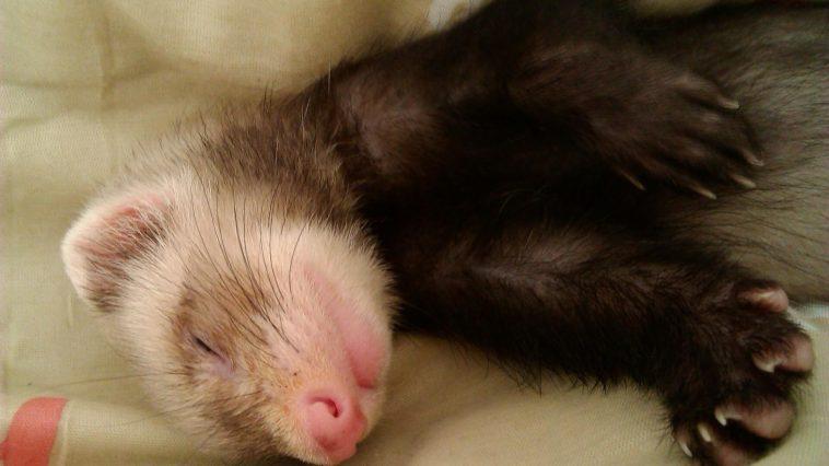 Why Do Ferrets Sleep So Much?