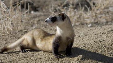 How long do ferrets grow